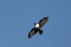 在中间飞行的乌鸦 免版税库存图片