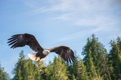 在中间飞行的北美洲白头鹰 免版税库存图片