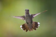 在中间飞行的哼唱着鸟 免版税库存图片