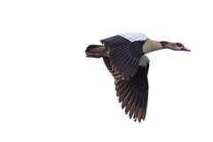 在中间飞行的埃及鹅 库存照片