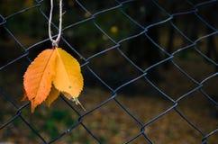 在串的秋叶 免版税库存照片