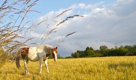 在丹麦和蓝天的一匹马 免版税库存图片