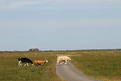 在丹麦的母牛在夏天环境美化 免版税库存图片