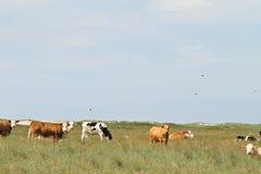 在丹麦的母牛在夏天环境美化 库存图片