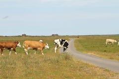 在丹麦的母牛在夏天环境美化 库存照片