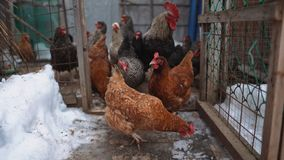 在为肉和鸡蛋抚养的小屋的布朗鸡,家庭种田 –储蓄图象 免版税图库摄影