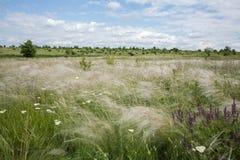 在乌克兰干草原的挥动的stipa 库存图片