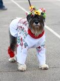 在乌克兰的全国服装的一条狗 免版税库存照片