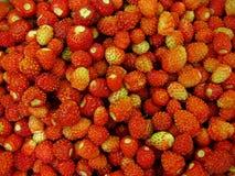 在乌克兰的领域的草莓在赫梅利尼茨基附近的 库存图片