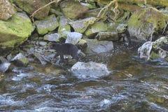 在乌山头水库熊观测所的黑熊在Wrangell阿拉斯加附近的夏天 库存图片