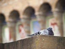 在乌菲齐画廊的鸽子 免版税库存图片