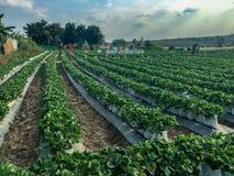 在乌隆府,泰国采摘您自己的莓果农场 免版税库存图片