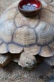 在乌龟壳的硬币收集碗  免版税图库摄影