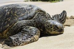 在乌龟海滩的夏威夷海龟在奥阿胡岛,夏威夷 免版税图库摄影