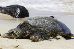 在乌龟海滩的夏威夷海龟在奥阿胡岛,夏威夷 图库摄影