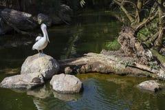 在乌龟站立的鹈鹕 免版税库存图片