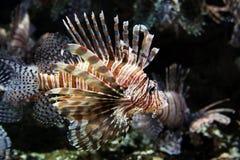在乔治亚水族馆的Tigerfish 免版税库存照片