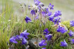 在乔治亚山的会开蓝色钟形花的草  免版税库存图片