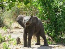 在乔贝国家公园,博茨瓦纳,非洲的特写镜头厚颜无耻的婴孩狂放的大象 库存照片
