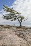 在乔治湾的孤立杉木 图库摄影