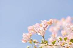 在九重葛灌木的轻的白色桃红色花 免版税库存照片