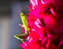在九重葛的螳螂 免版税图库摄影