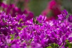 在九重葛,桑给巴尔,坦桑尼亚的蝴蝶 免版税库存照片