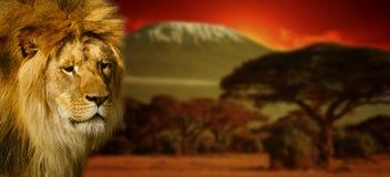 在乞力马扎罗山的狮子画象日落的 免版税库存照片