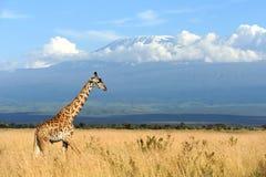 在乞力马扎罗登上背景的长颈鹿 库存照片