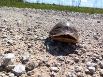 在乡下公路的乌龟 免版税库存照片