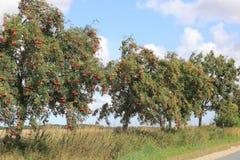 在乡下公路的欧洲花揪 免版税库存照片