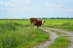 在乡下公路的母牛费用 免版税库存图片