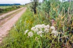 在乡下公路的边缘的白色开花的母牛荷兰芹 免版税库存图片