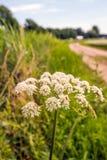 在乡下公路的边缘的白色开花的母牛荷兰芹 库存图片