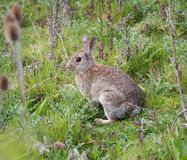 在乡下步行看见的野生兔子 免版税库存照片