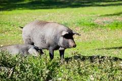 在乡下的利比亚猪 库存照片