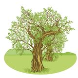 在乡下的橄榄树 库存照片