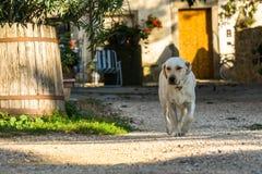在乡下的白色狗 库存照片