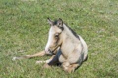 在乡下的自由马驹 免版税库存照片