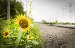 在乡下路旁边的向日葵 免版税库存图片