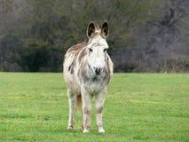 在乡下领域的白色和棕色驴 库存图片