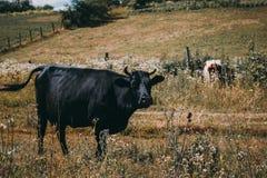 在乡下,美丽的天空的奶牛在背景中 一头好奇奶牛在她的牧场地站立 免版税库存图片