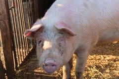 在乡下养的唯一猪 免版税库存照片