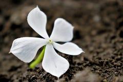 在书中间的美丽的白花 免版税图库摄影