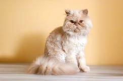 在书桌上的波斯猫 库存照片