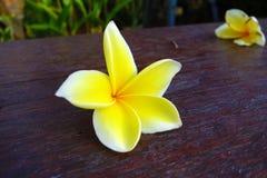 在书桌上的热带黄色花 库存照片