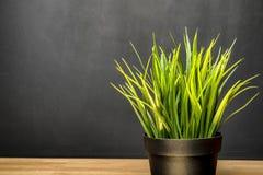 在书桌上的绿色室内植物在学校 氧气在屋子里 在一个空的委员会的背景 免版税库存图片