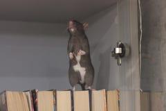 珍藏书籍者 在书橱的黑鼠 标志的 免版税库存图片
