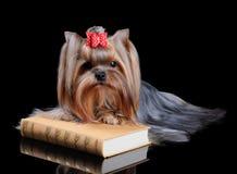 在书的约克夏狗 库存图片