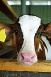 在乳品加工业的小牛 库存图片